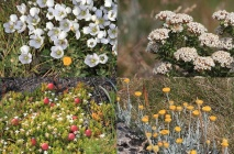 Kosciuszko wildflowers