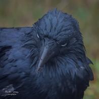 australian-raven-perisher_51162314092_o