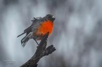 flame-robin-male-perisher_51162314167_o